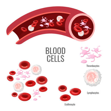 Blood cells exploration scientific poster with microscopic bodies. Pink thrombocytes, round lymphocytes and red erythrocytes vector illustrations on banner.