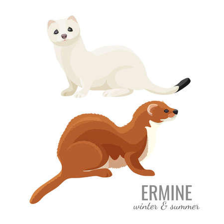 Ermines in winter and summer with white and brown fur