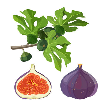 Ficus fruit and branch with leaves. Tree shrub or climbing plant of large genus that includes figs and rubber. Growing in tropical ripe fruits vector illustration