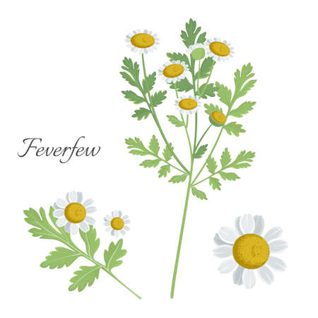 Feverfew daisy plant with blooming flower and green leaves. Healing herbal element helping to recover from illness. Camomile daisylike bud isolated vector Illustration