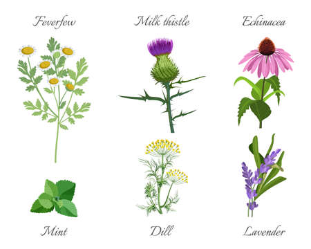 Milk thistle and feverfew, echinacea and mint green leaves. Dill and lavender medicinal herbs set vector illustration. Herbal treatment plants isolated