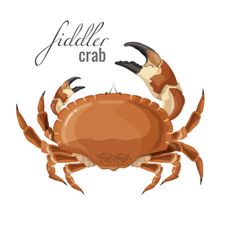 Cangrejo violinista naturaleza animal marino con garras ilustración vectorial