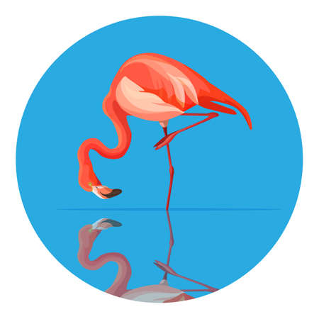 Pink flamingo tall wading bird with pink or scarlet plumage and long legs and neck. Animal bent over to drink water, vector illustration in circle isolated