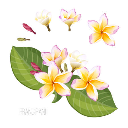 Frangipani exotic flowers with pretty blooming buttons, abstract flower life cycle, isolated vector, big green leaves and flowering buds collection