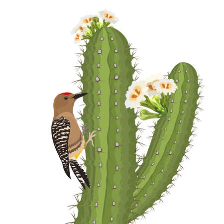 Gila woodpecker bird on saguaro cactus in desert wildlife. Vector Vectores