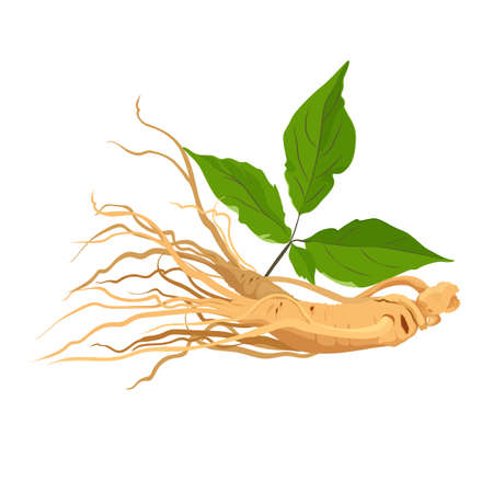 Ginseng root herb for medicine and health. Isolated on white. Vector