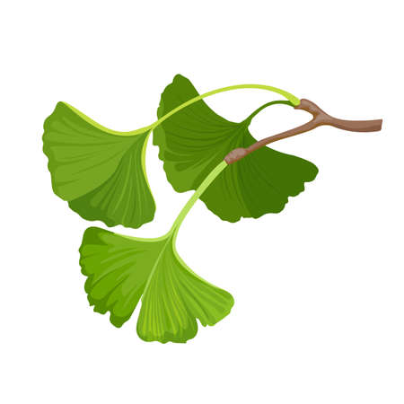 Ginkgo biloba herbal green leaf. Isolated on white. Vector