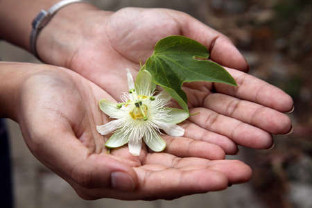 Hands holding beautiful passion fruit flower