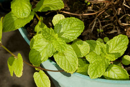 potted: Potted Mint