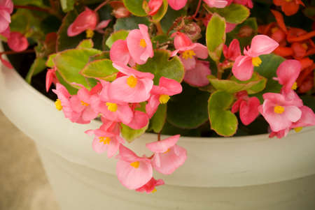 potted plant: Pink potted plant over hanging pot Stock Photo