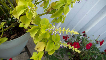 Green Coleus with purple blossoms
