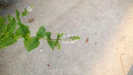 Blooming Spearmint