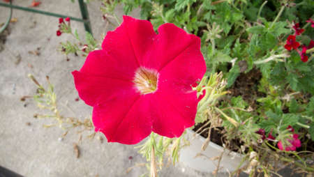 red morning: Red Morning Glory Blossom