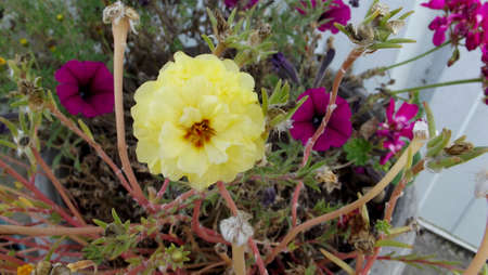Yellow Moss Rose Potted plant