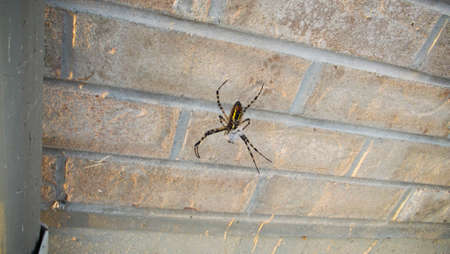 Black and Yellow garden Spider with prey
