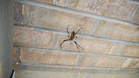 prey: Black and Yellow garden Spider with prey