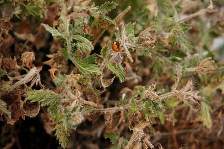 arlecchino: Giapponese Ladybird, Ladybird Arlecchino, Halloween Lady Beetle in Dry Brush