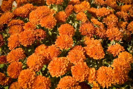 Orange Fall Mums Seasonal Macro Photography