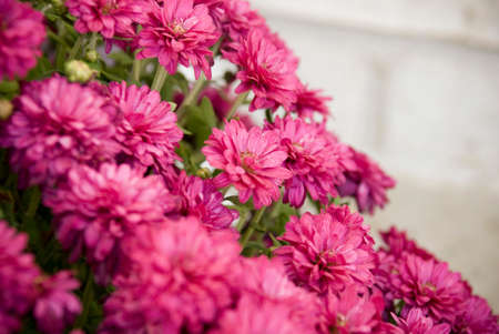 Pink Fall Mums Seasonal Macro Photography Stock Photo