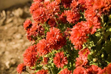 mums: Red Fall Mums Seasonal Macro Photography