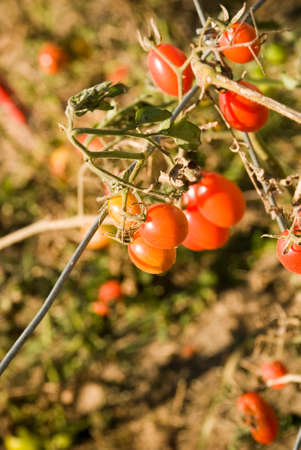 Cherry Tomatoes on the Vine Macro Photography Stock Photo
