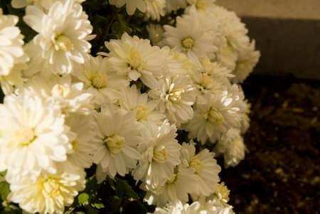 White Fall Mums Seasonal Macro Photography