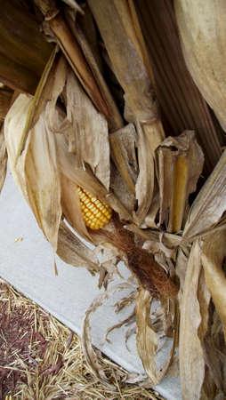 corn stalks: Dry Corn Stalks with Cobs