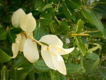 discolored: Myrica Pensylvanica, Bayberry Bush Discolored leaves