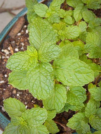 Spearmint in pot, Stock Photo