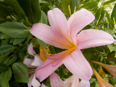 pale: Pale pink Magic Lily, Lycoris Squamigera, nature