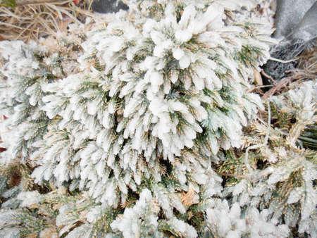Iced Evergreen Bush in Winter