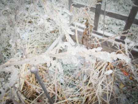 Frozen Roma Tomato Plants Covered in Ice Stock Photo - 70606078