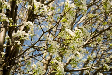 Blooming Hawthorn Baum-Zweig Im Frühjahr Mit Weißen Blüten ...