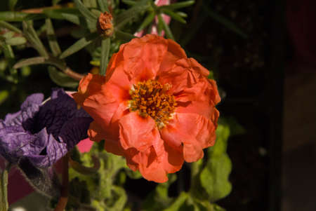 delicate pink flower, pink moss rose