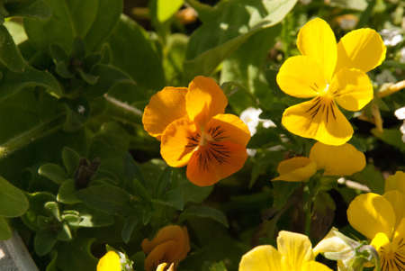 orange and yellow pansy, Viola pedunculata Stock Photo