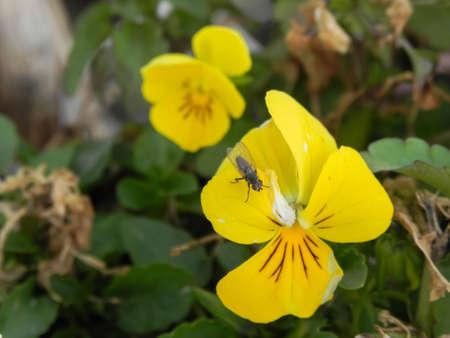 Fly on yellow pansy, Viola pedunculata