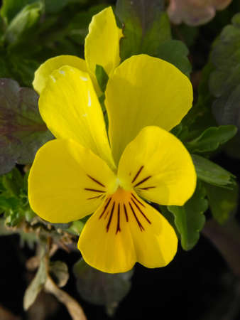 yellow pansy, Viola pedunculata