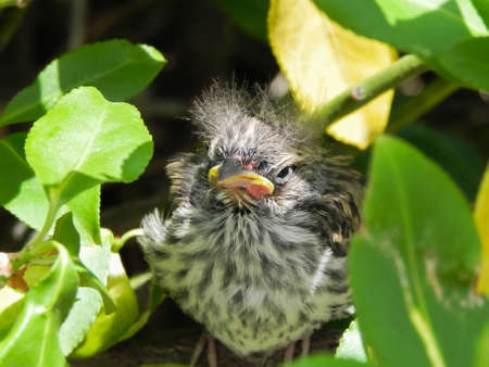 Baby Sparrow in Bayberry bush