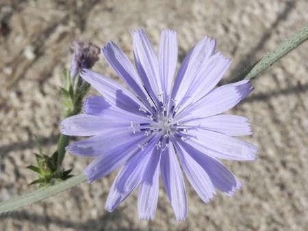 inulin: Common Chicory (lat. Cichorium intybus) Stock Photo