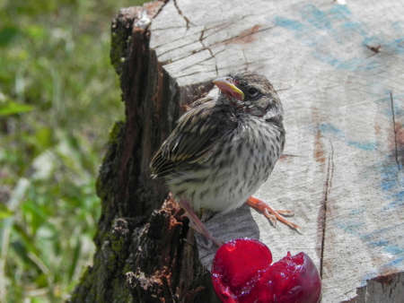 Baby Sparrow on tree stump with cherry