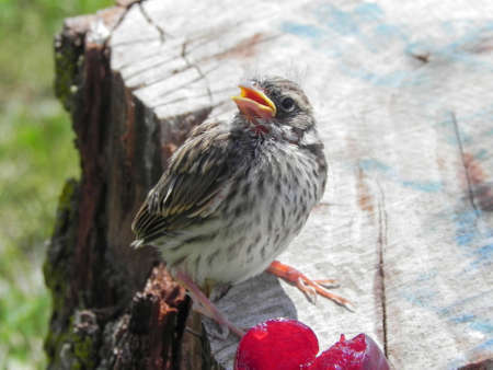 Baby Sparrow on tree stump with cherry