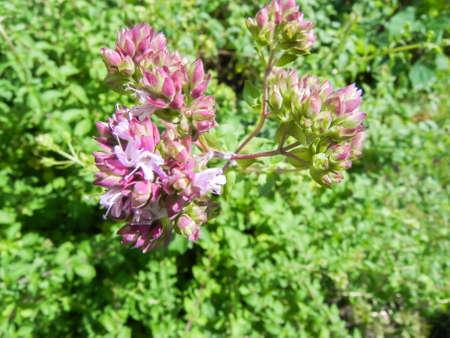 Small pink bush blossoms