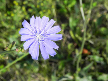 Blue Chicory Flower in grass Macro Photography