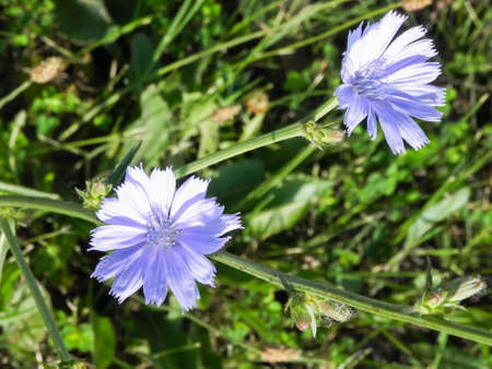Blue Chicory Flowers in grass Macro Photography Stock Photo