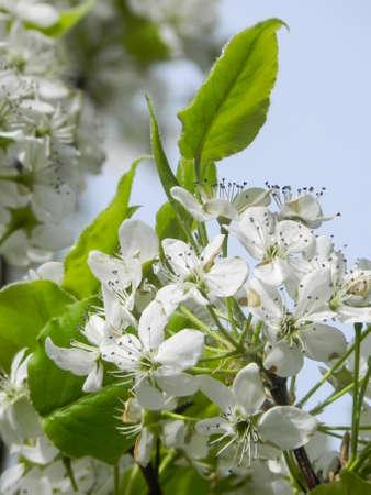 blooming hawthorne in spring