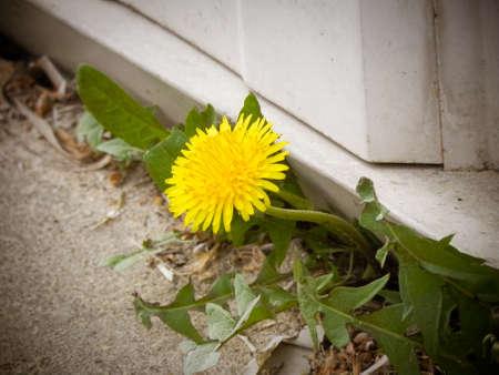 Dandelion peeking through concrete Фото со стока