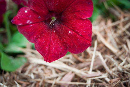red petunia closeup photo 스톡 콘텐츠