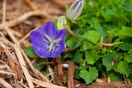 Purple Macro flowers growing in mulch Stockfoto