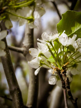 Blooming Hawthorn Stock Photo