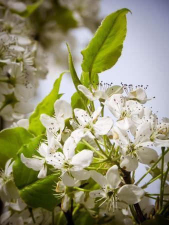 Blooming Hawthorn Stockfoto
